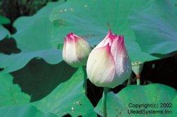 Flower2-001